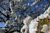 Wenn die weißen Rosen blühen